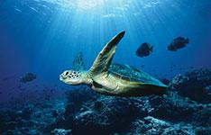 ocean-turtle-x150